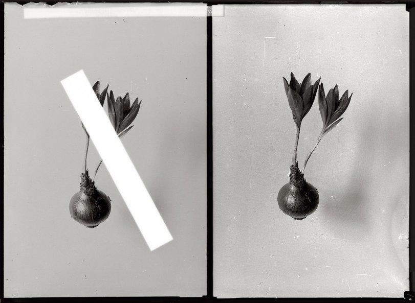 Amaryllis, Amaryllis: 1920