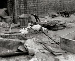 Drunken Ducks: 1925