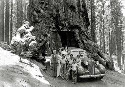 Through the Wawona Tree: 1936