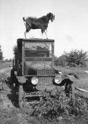 Goat On A Truck