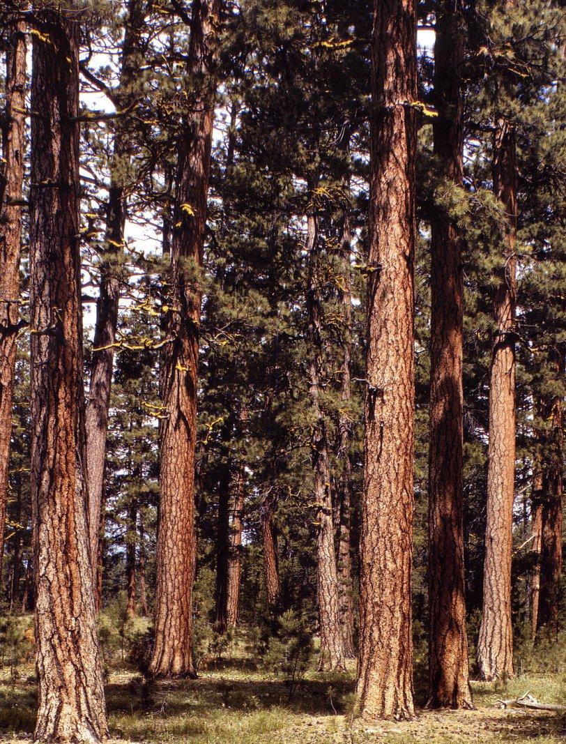 Pinus Ponderosa: 1942