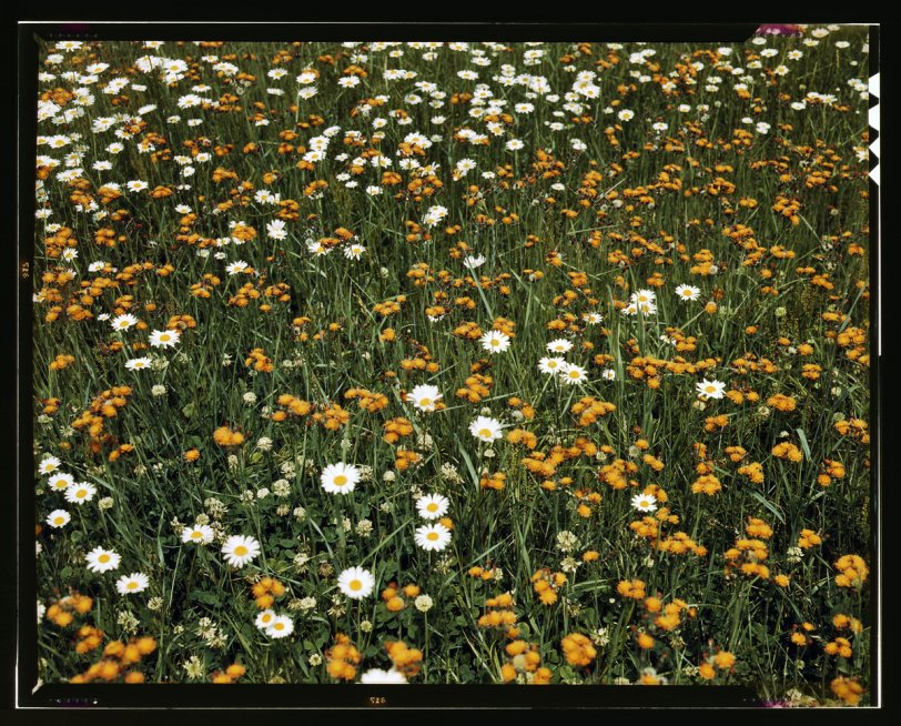 Dandelions and Daisies: 1943