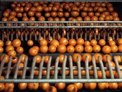 Redlands Oranges: 1943
