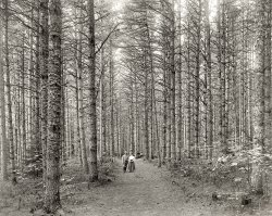 Cathedral Woods: 1900