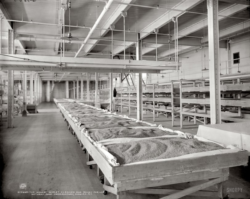 Bedded Wheat: 1906
