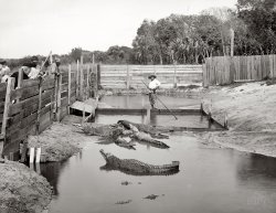 Alligator Joe: 1904