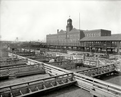 Cow Town: 1906