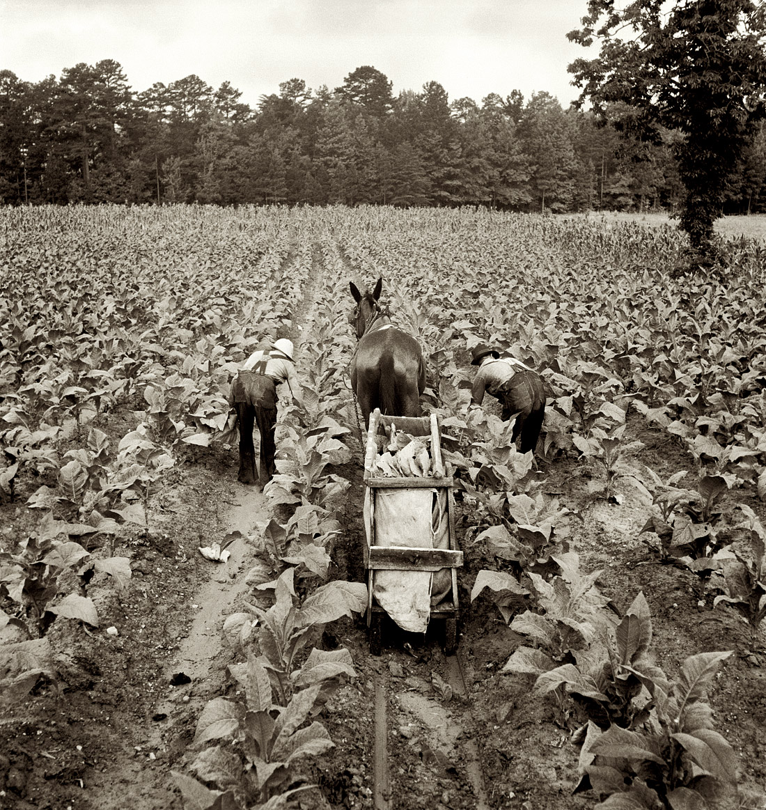 How to Buy Home Grown Tobacco How to Buy Home Grown Tobacco new photo