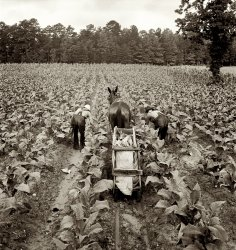 Shoofly Tobacco: 1939