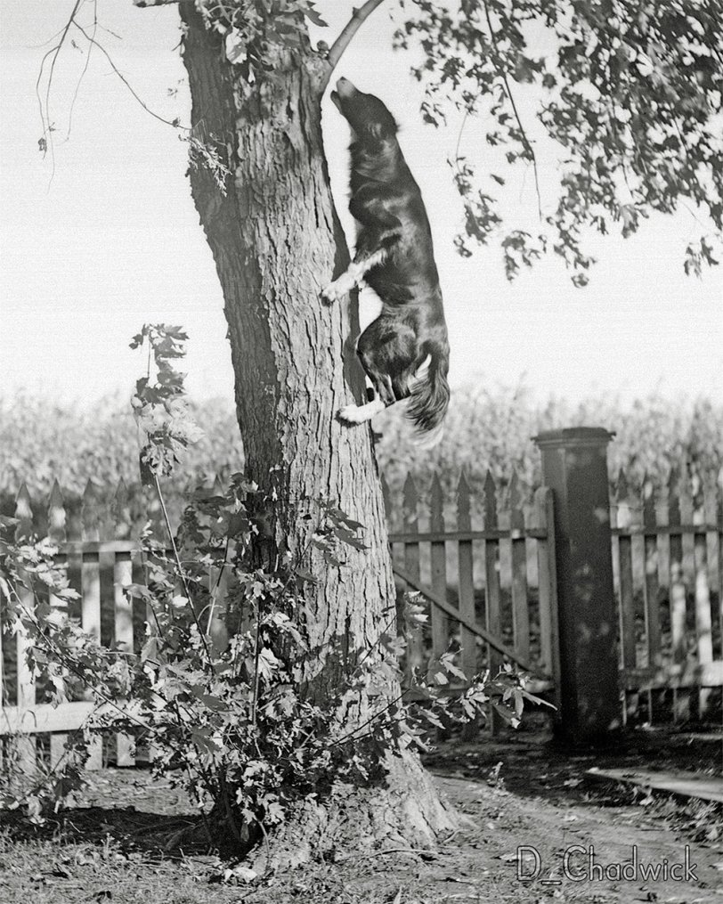 Bob the Tree-Climbing Dog: c.1910