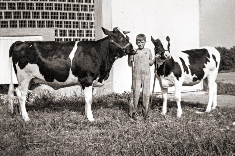 Two Pet Cows: circa 1940
