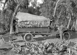 Locally Grown: 1918