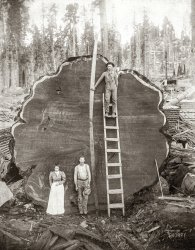 Redwood Deadwood: 1891