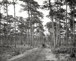 Florida Pines: 1905