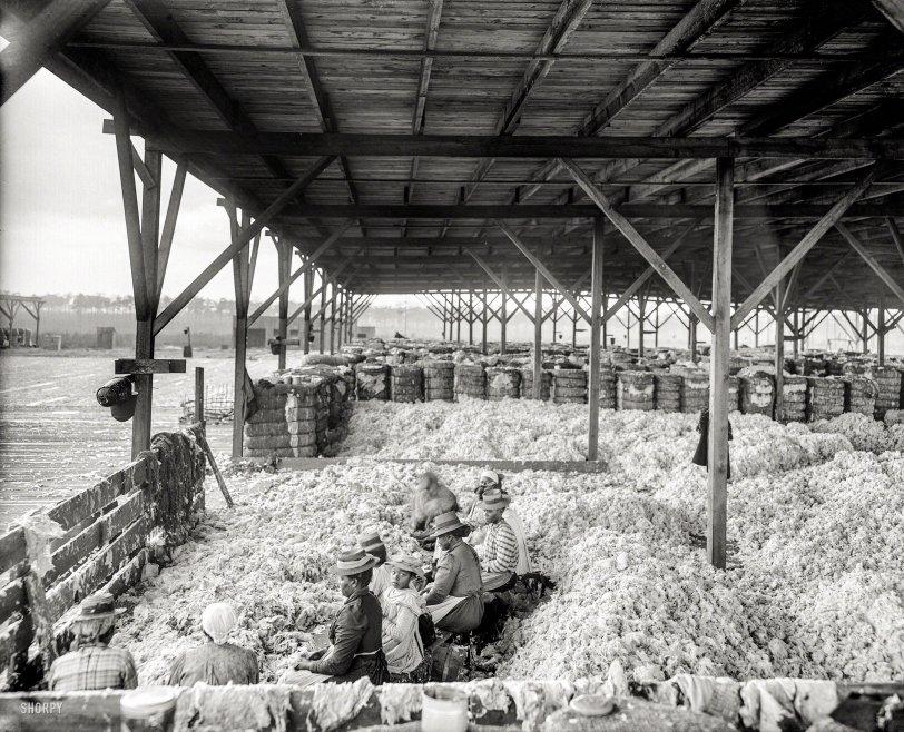 A Lotta Cotton: 1905