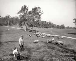 A Sheep Mows in Brooklyn: 1905