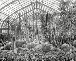 Captive Cacti: 1905