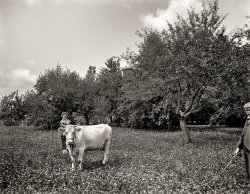 Family Cow: 1901