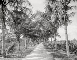 Parallel Palms: 1910