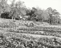 Leafy Greens: 1903