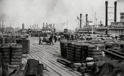 Cotton on the Levee: 1890