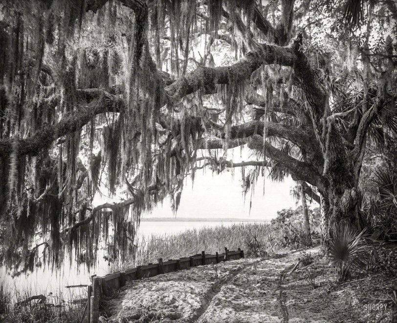 Arch Oak: 1894