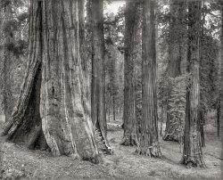 Lee Tree: 1890s