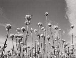 Gray Onions: 1941