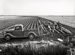 Sarasota Celery: 1941