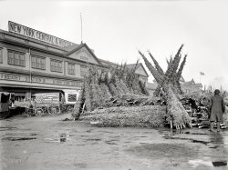 Christmas Tree Market: 1903