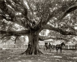 Mammoth Oak: 1900