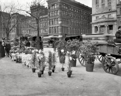 Easter Lilies: 1905