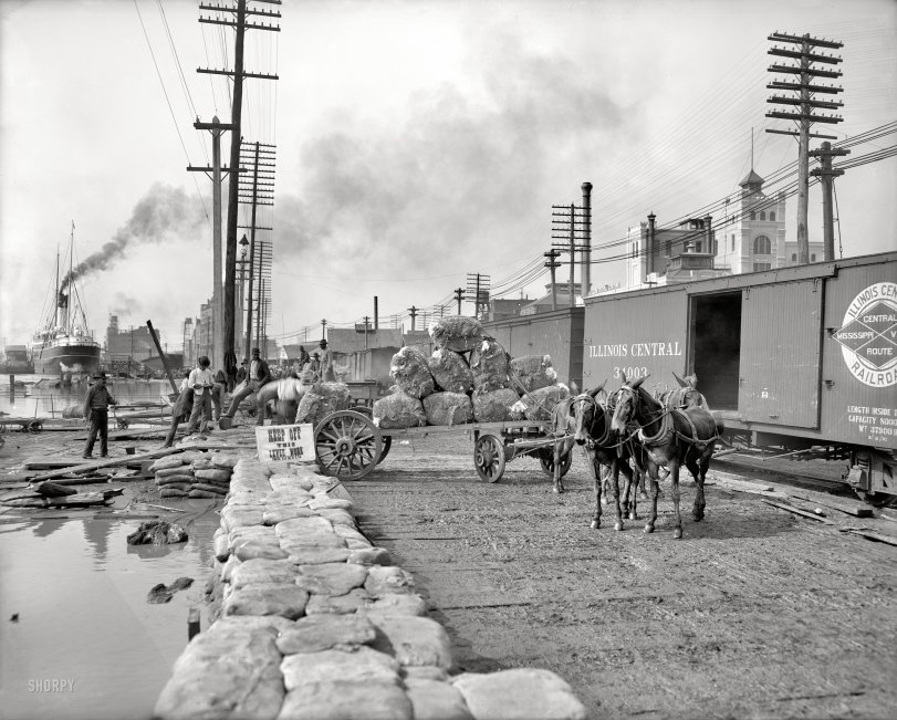 Cotton on the Levee: 1903