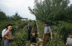 Vines harvest.
