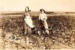 Pickin' Cotton In Oklahoma, 1895